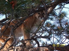 An up close and personal photo of a Wyoming Mountain Lion.  If your up for a challenge this is it.