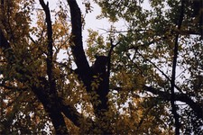 A picture of a Wyoming Mountain Lion in the tree.  This lion was spotted not far from camp a few days prior to being harvested by Jim D.